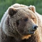 animals in dreams - bear meaning- animal meaning- dreaming of animals
