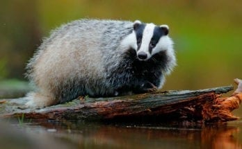 meaning of the badger totem