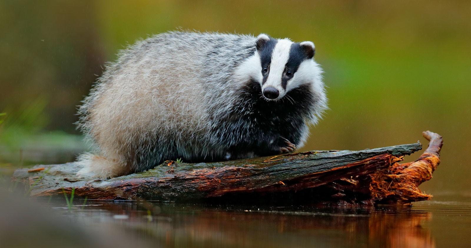Badger Animal Symbolism