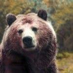 symbolic bear meaning, bear totem, bear symbol