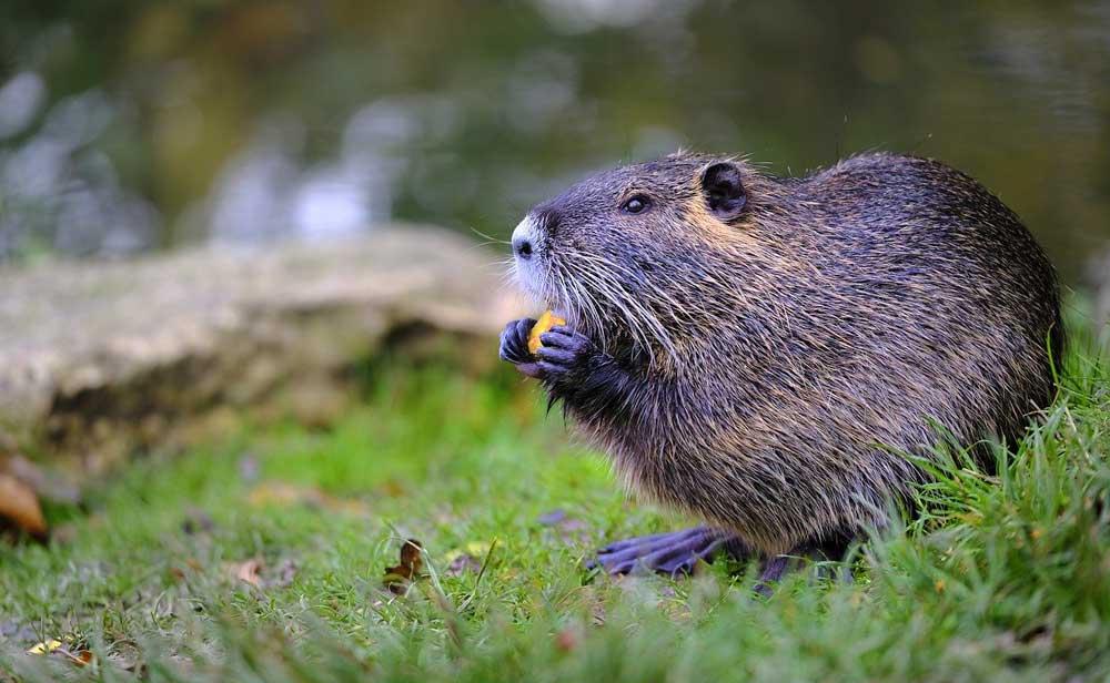 Animal Symbolism Beaver
