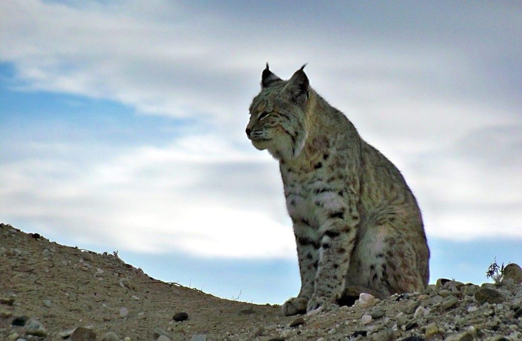 bobcat animal totem, animal totem, bobcat meaning, bobcat symbolism