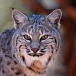 Bobcat Animal Totem