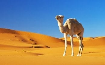 camel meaning and came symbolism