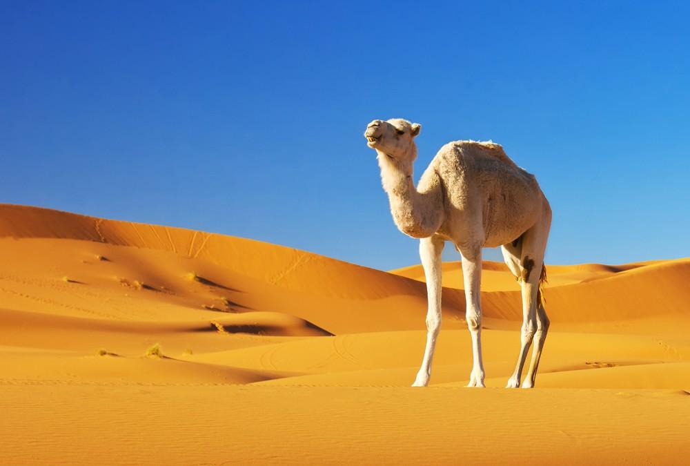 Symbolic Camel Meaning
