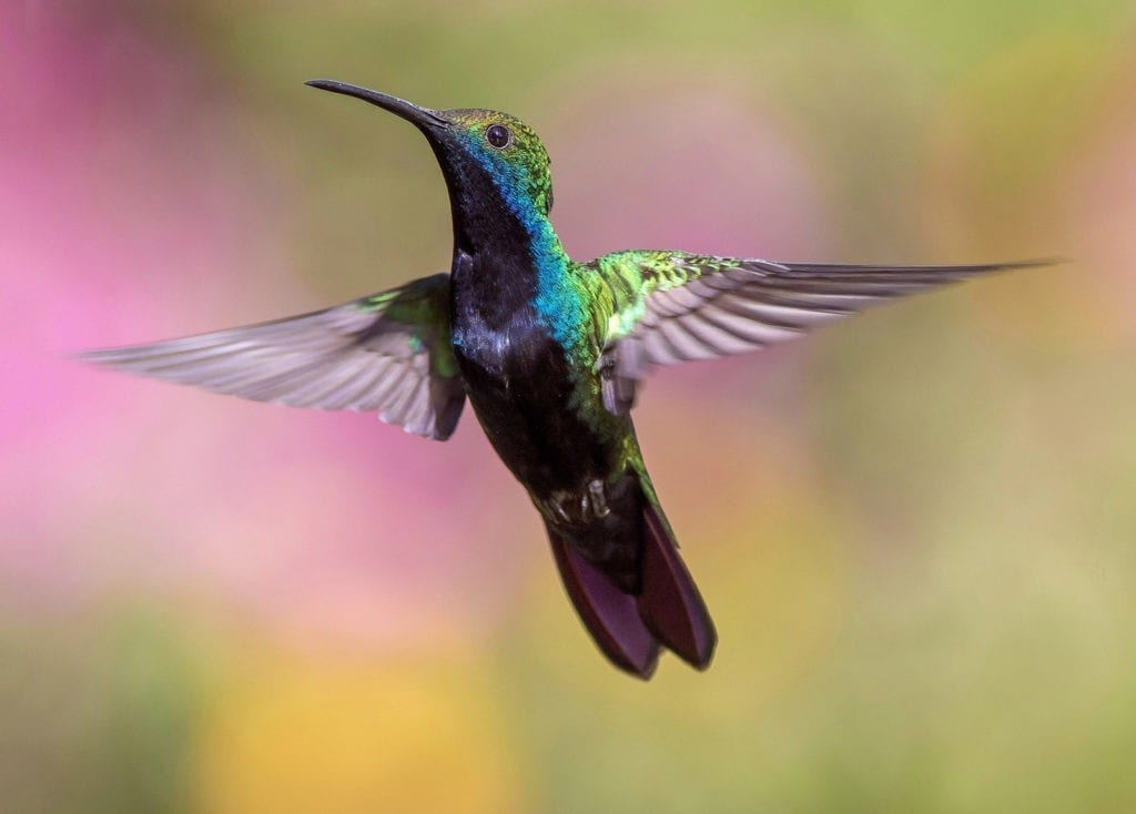 hummingbird animal totem, hummingbird meanings