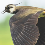 Lapwing Meaning