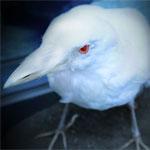 white raven white crow meaning