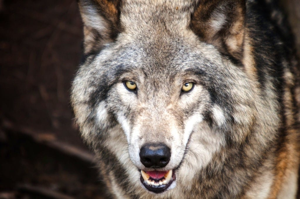 Wolf Meaning Dog Meaning
