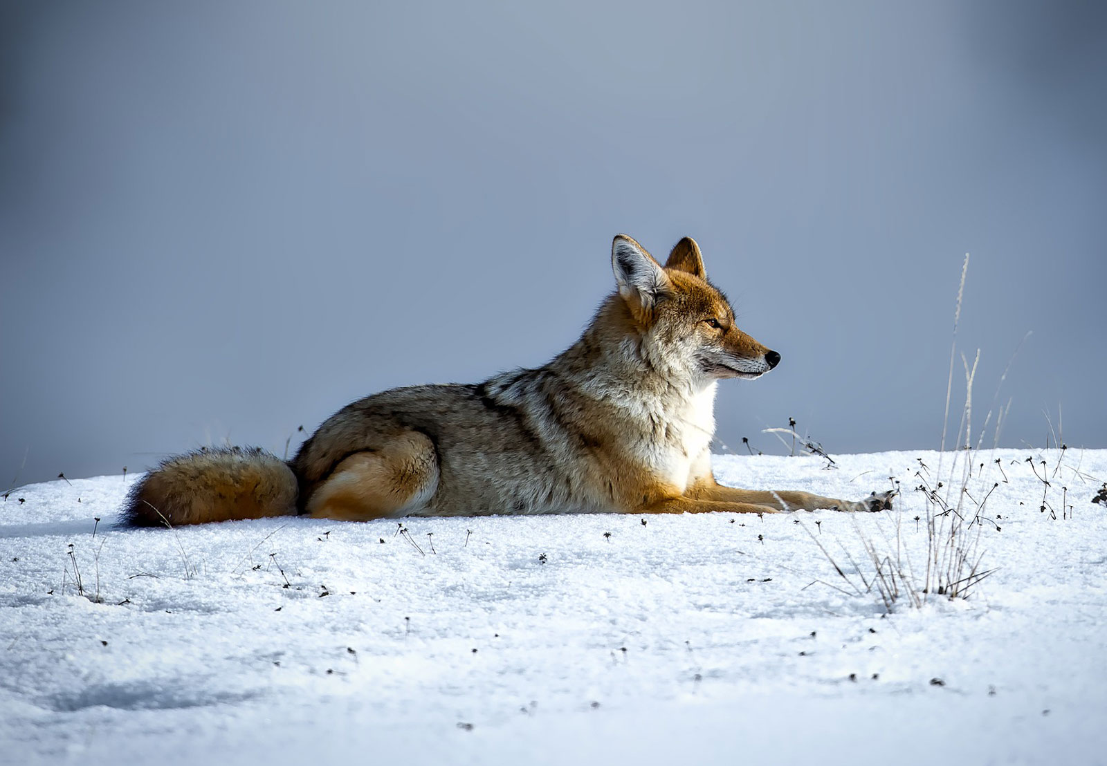 animal symbolism coyote meanings