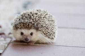 animal symbolism hedgehog meaning