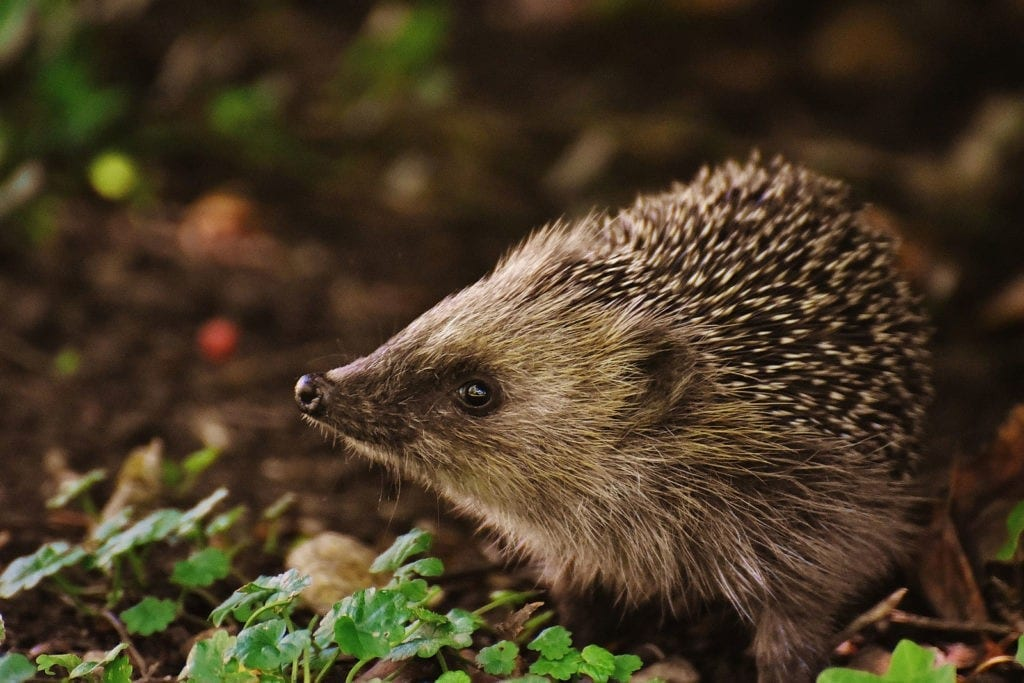 animal symbolism hedgehog meaning and totem meaning