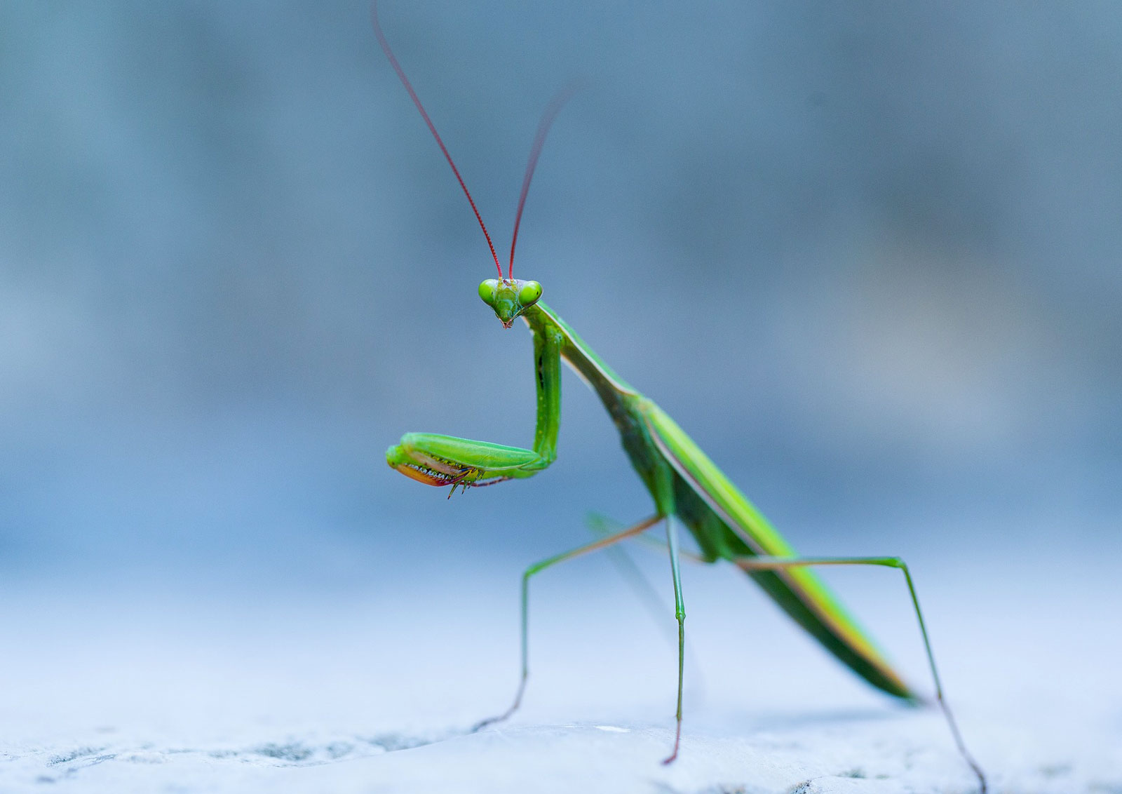 animal symbolism praying mantis meaning