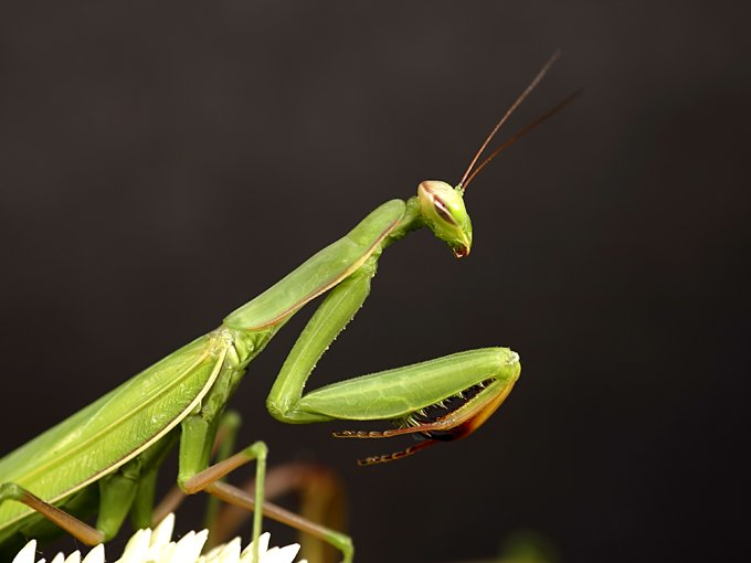 praying mantis meaning and animal symbolism