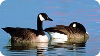 animal symbolism of spring and goose meanings