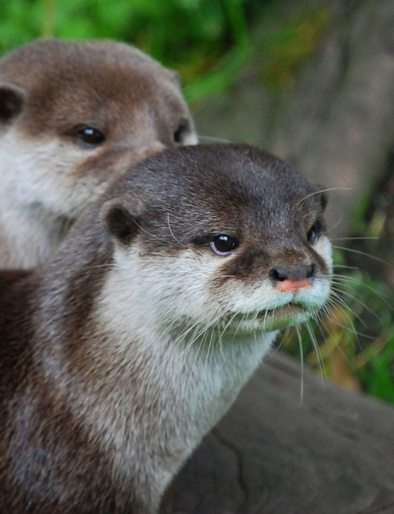 animal symbolism and otter meanings on whats-your-sign.com