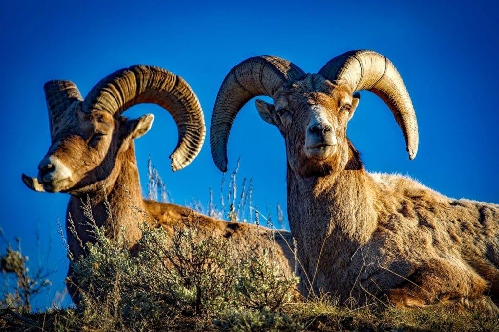 animal symbolism ram meaning