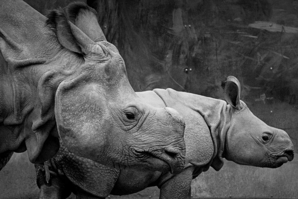 animal symbolism rhinoceros horn meaning