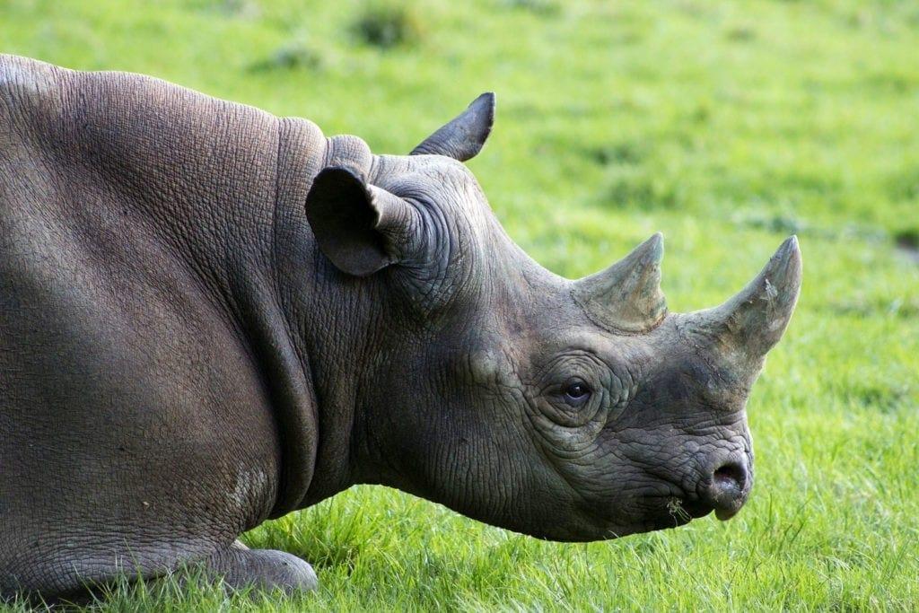 animal symbolism rhinoceros meaning