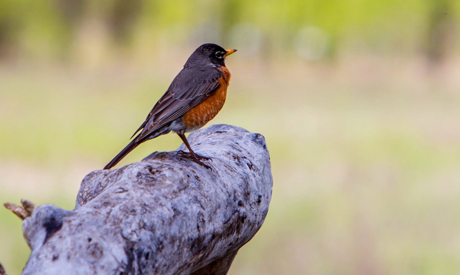 animal symbolism robin meaning
