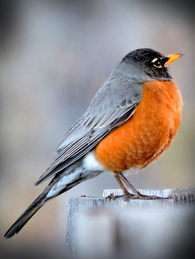 animal symbolism robin meaning