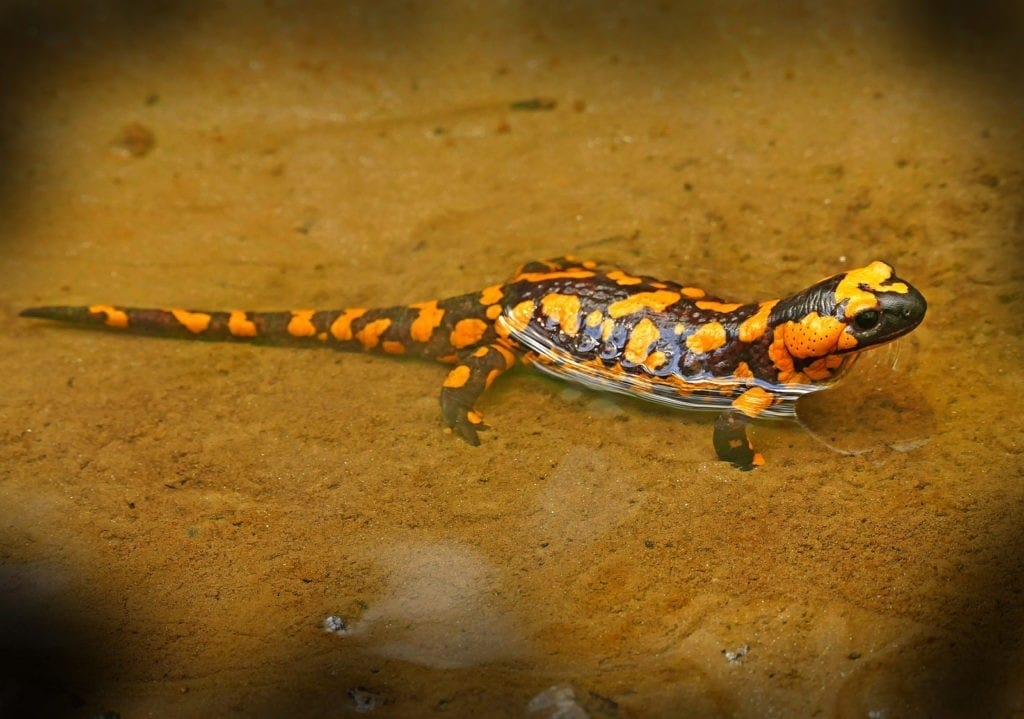 animal symbolism salamander meanings