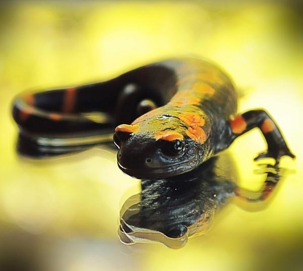 animal symbolism salamander meaning