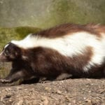 animal symbolism skunk meaning