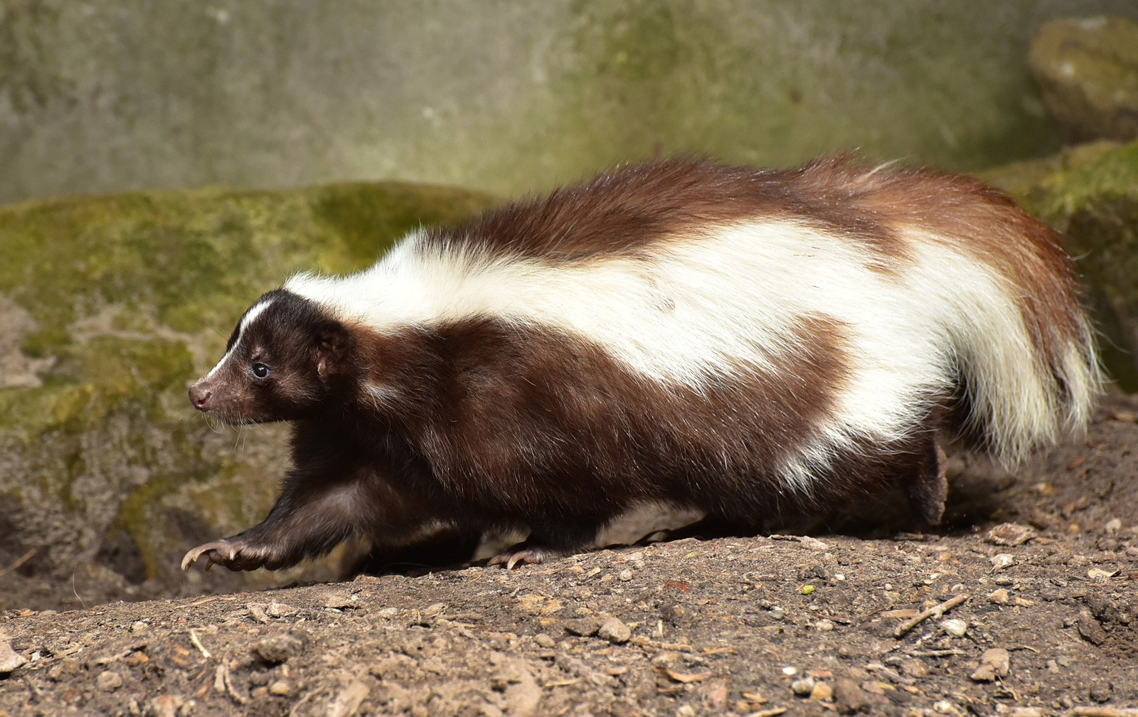 animal symbolism skunk meaning