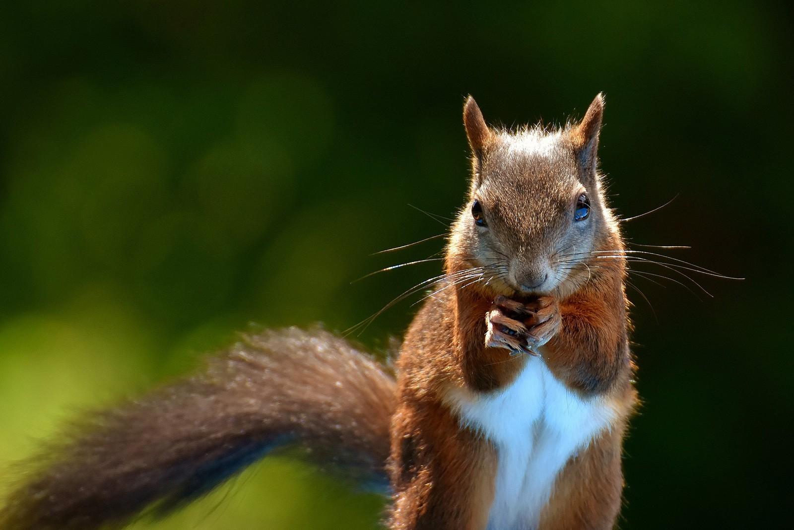 animal symbolism squirrel meaning