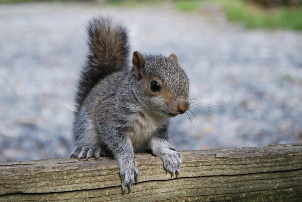 animal symbolism squirrel tracks and meanings