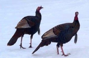animal symbolism turkey meanings