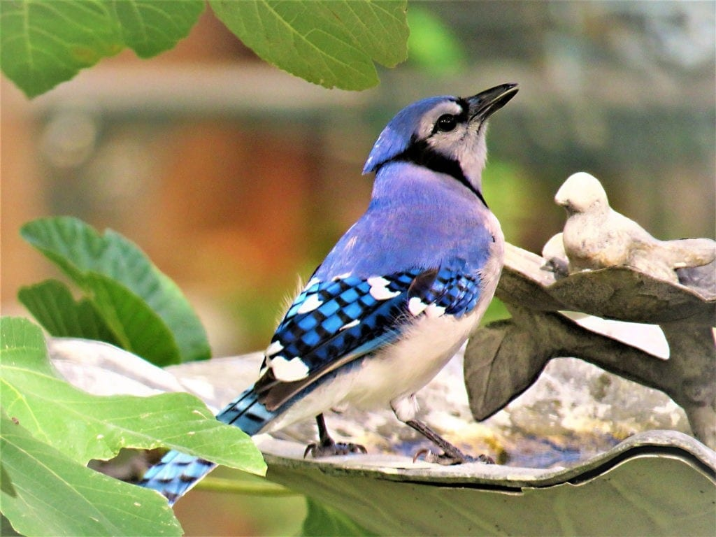 blue jay animal symbolism