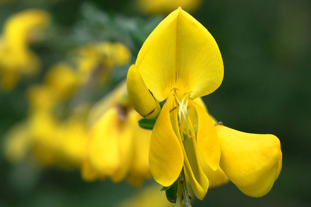 Celtic Meaning Gorse