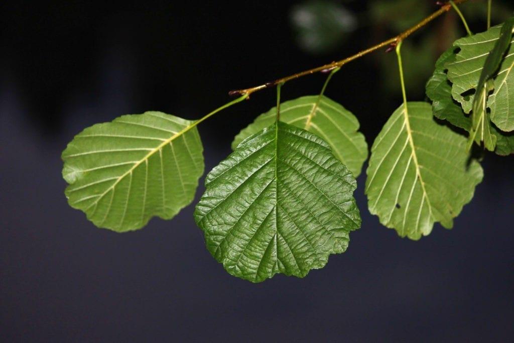 Celtic meaning of alder tree