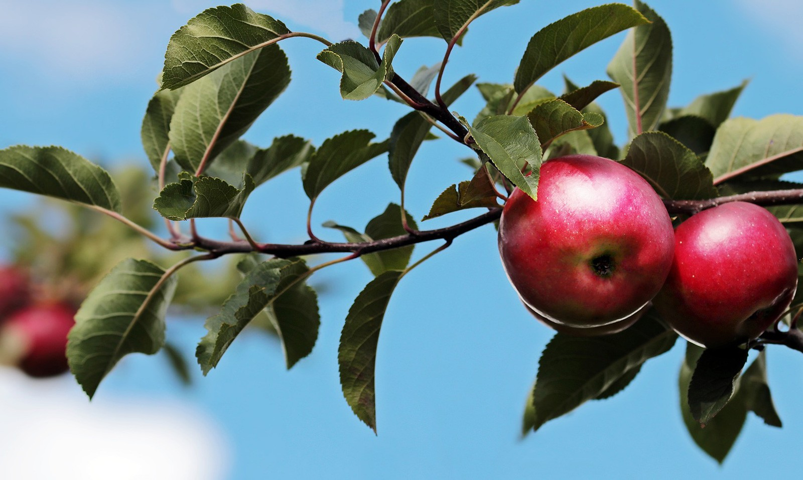 celtic meaning apple tree meaning