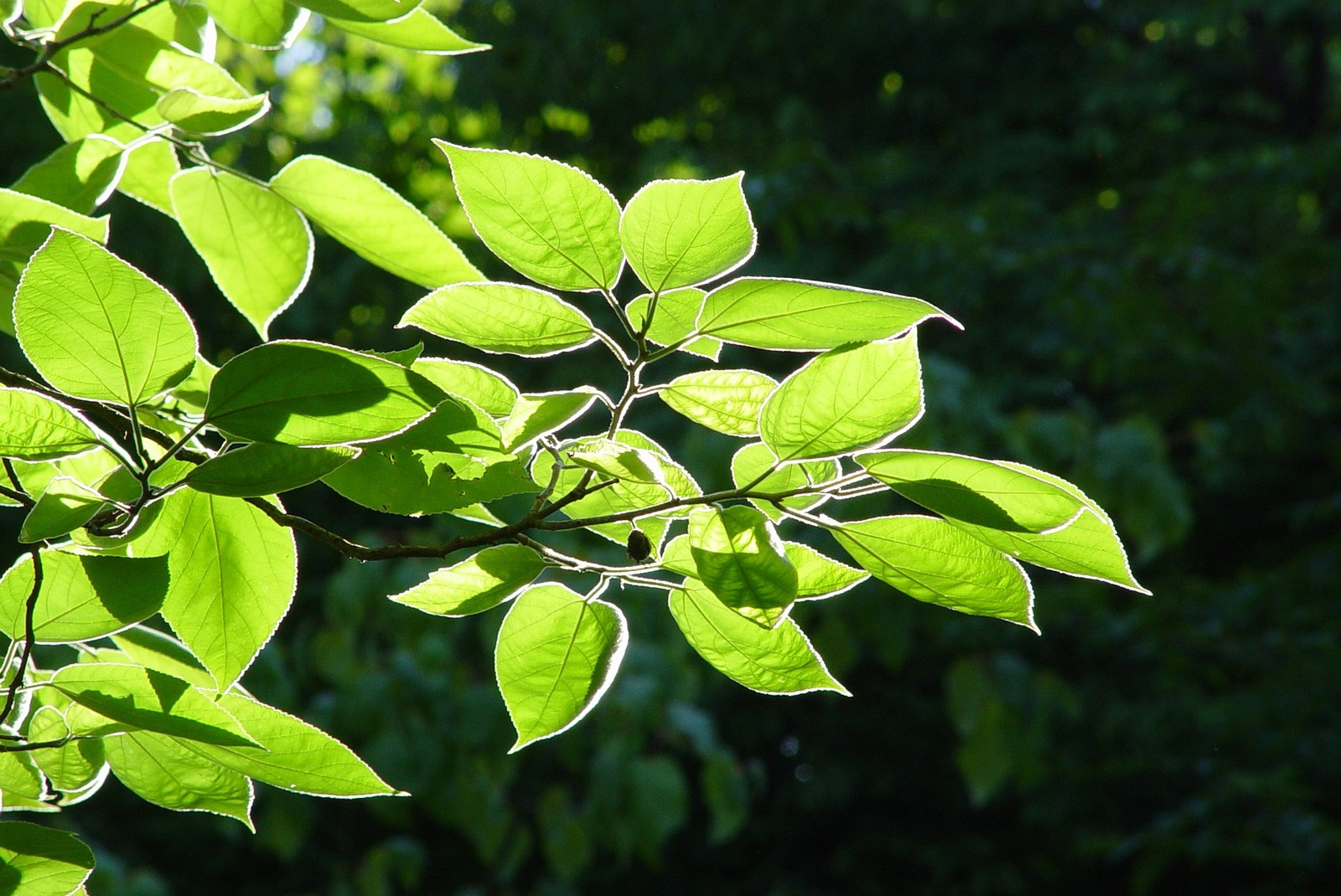 celtic meaning ash tree meaning