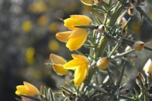 celtic meaning gorse, ogham tree meaning of gorse
