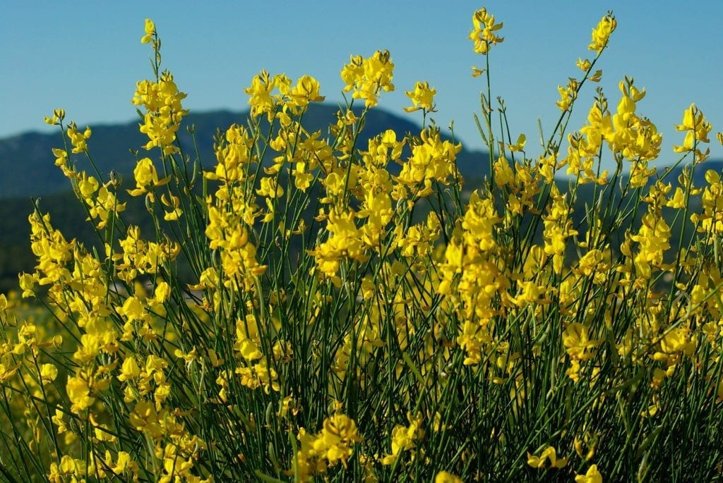 celtic meaning gorse ogham meaning