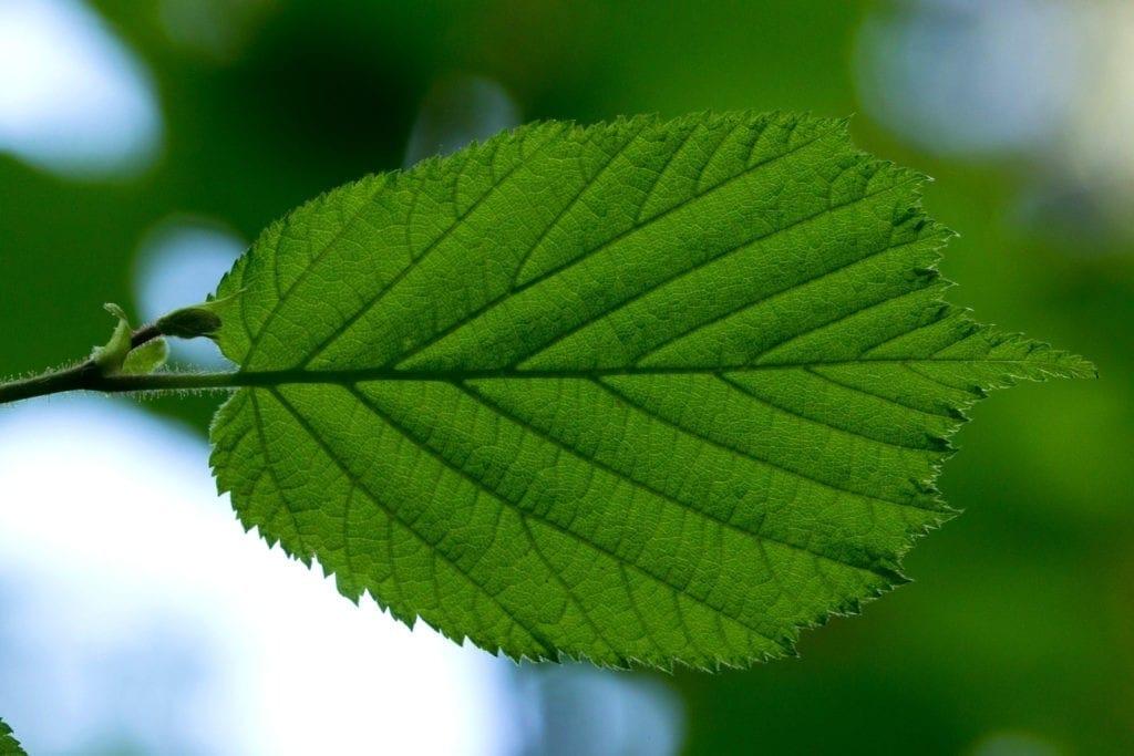 celtic meaning hazel tree