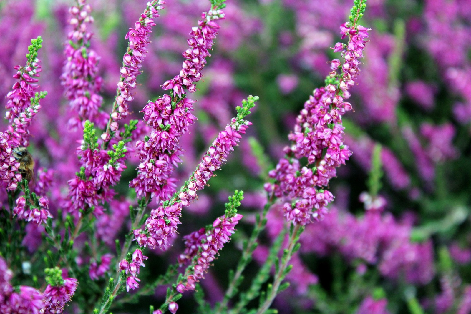Celtic Meaning Heather
