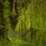 celtic meaning willow tree ogham meaning