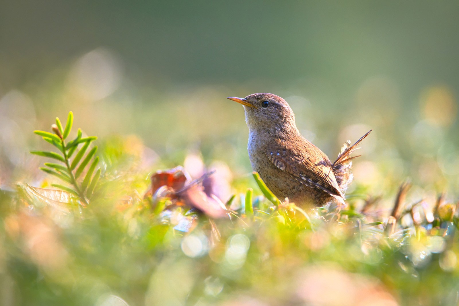 celtic meanings of the wren and wren meanings