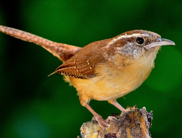 celtic meanings of the wren and wren bird meaning