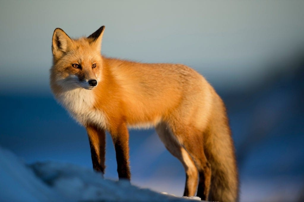 Celtic zodiac sign fox meanings