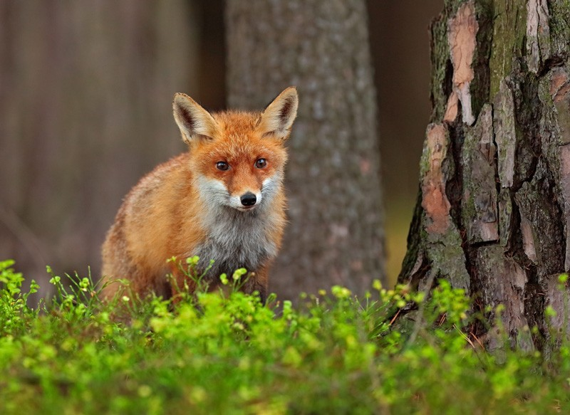 Celtic zodiac sign fox and fox sign meaning