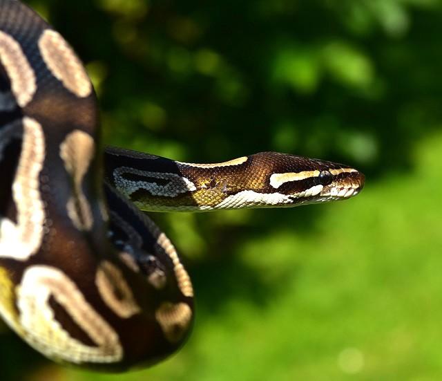 celtic zodiac sign snake sign meaning