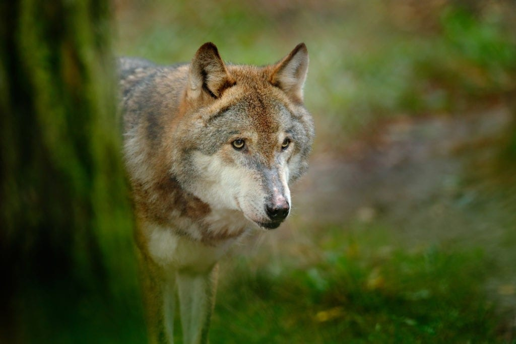 Celtic zodiac sign wolf meanings for your personality type