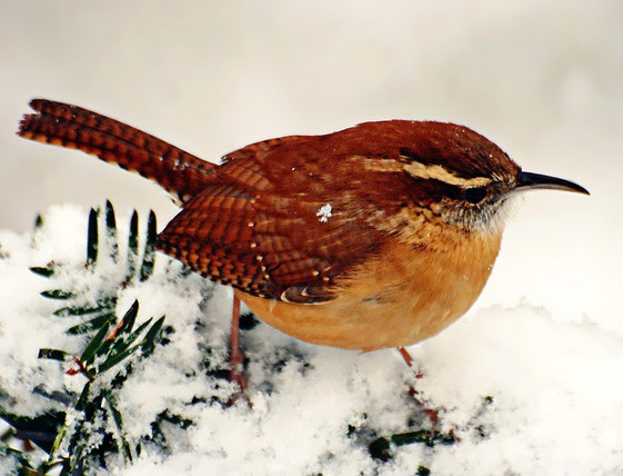 celtic wren meaning and zodiac sign meanings