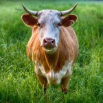 cow animal symbolism